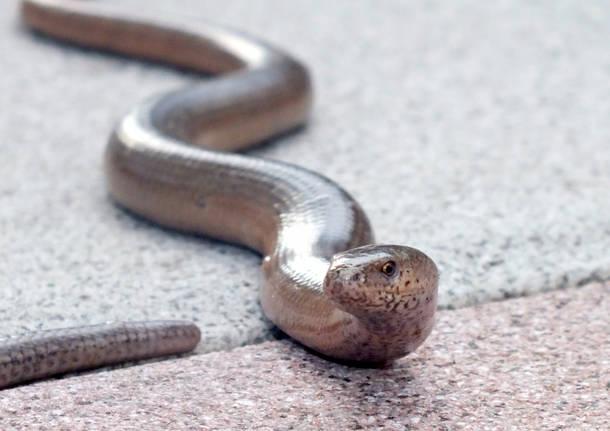 La guida dei serpenti del Varesotto
