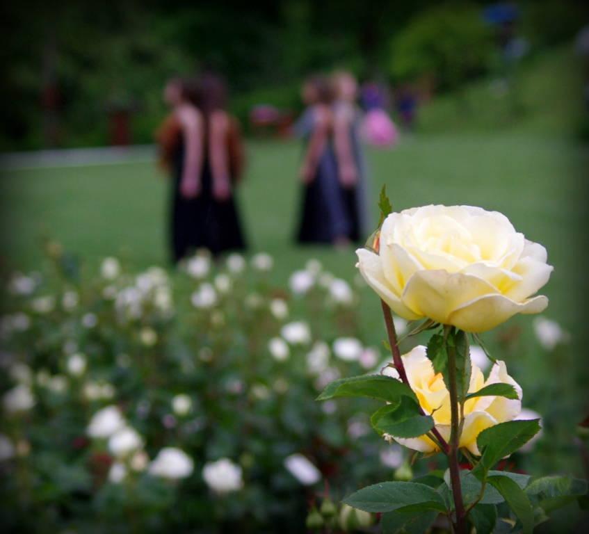 La Festa delle Rose