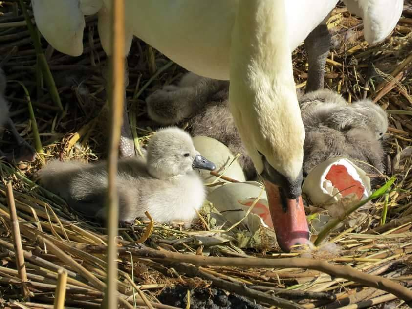 La nascita dei piccoli cigni sulle sponde del Ticino