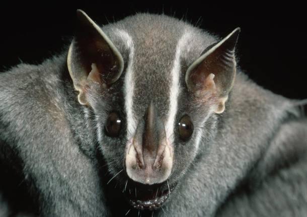 pipistrello pipistrelli