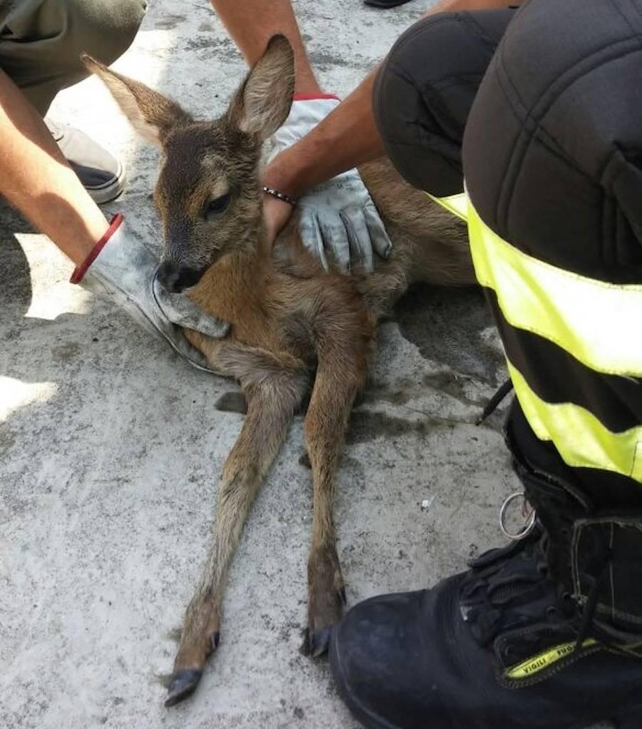 Cervo recuperato a Vizzola Ticino