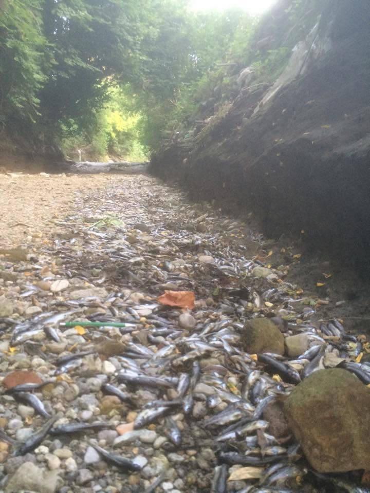 Lura ancora in secca, migliaia di pesci morti