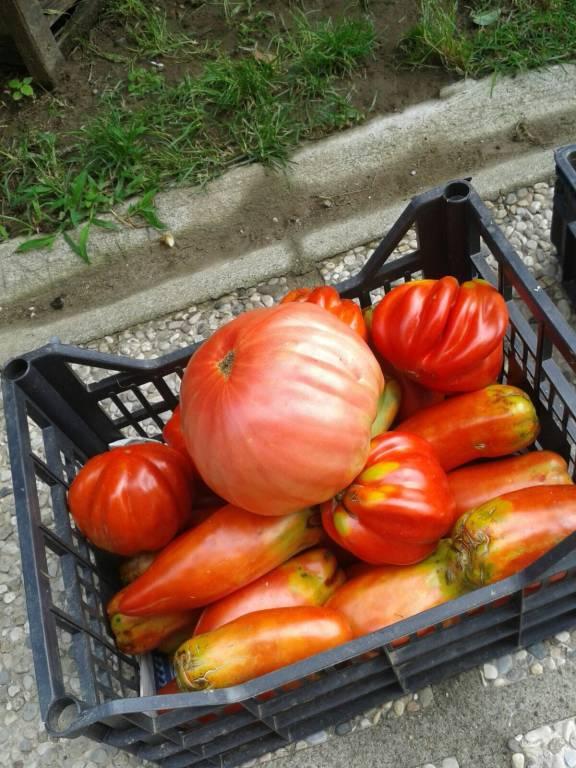 Pomodori da record a Caidate