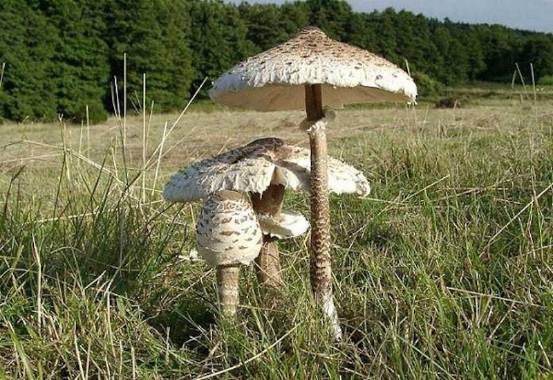 I funghi commestibili in provincia di Varese