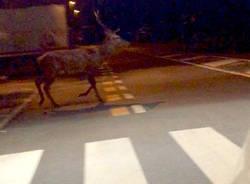Il cervo a Gallarate