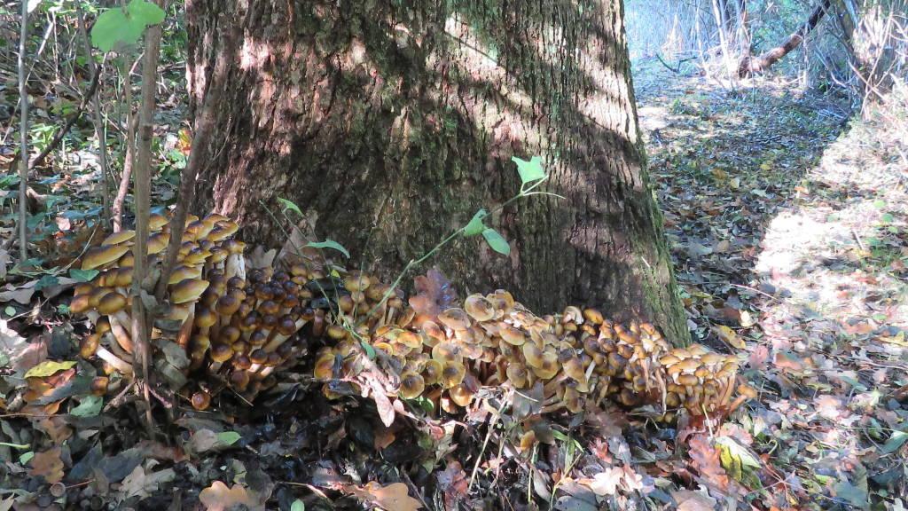Funghi Chiodini di Novembre 2015  (sotto Quercia)