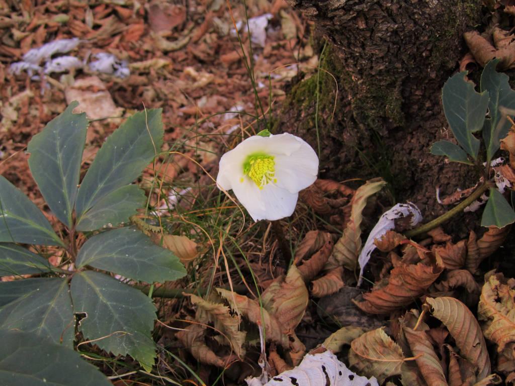 Novembre fioriscono le primule for Primule immagini