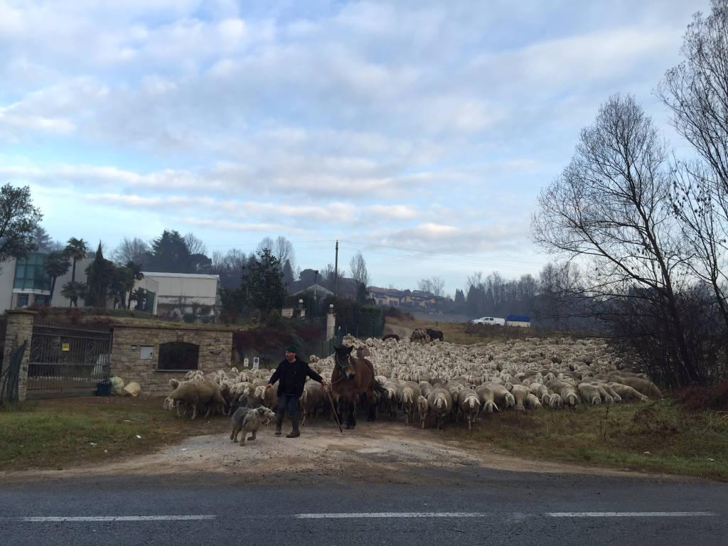 Gregge di pecore alla Schiranna