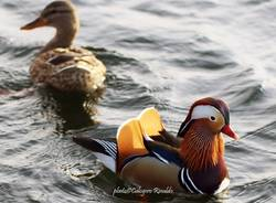 L'anatra mandarina nel lago di Varese