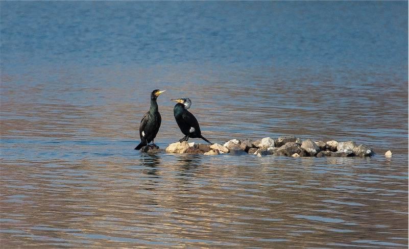 I due cormorani