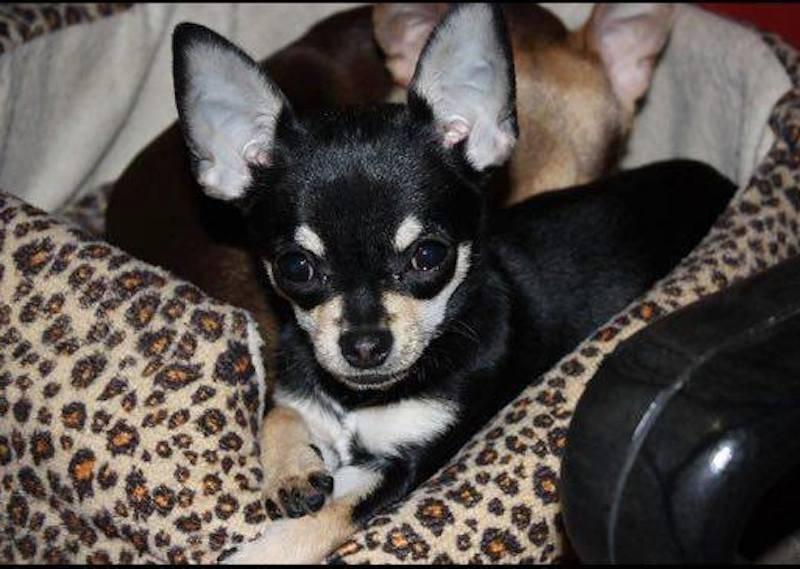 Chihuahua smarrita