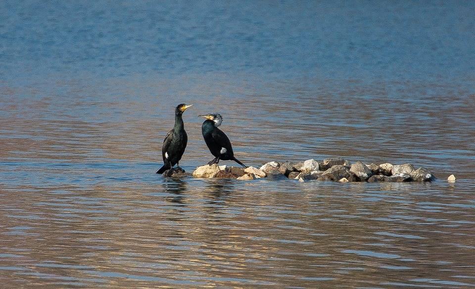 i cormorani sul lago