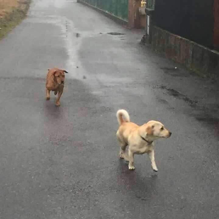 Persi due cani a Caronno Varesino