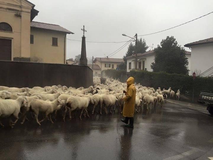 Pecore a Morosolo