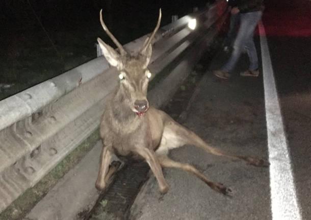 cervo abbattuto via peschiera