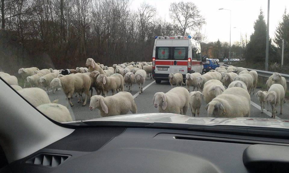Schiranna, pecore e ambulanza sulla provinciale