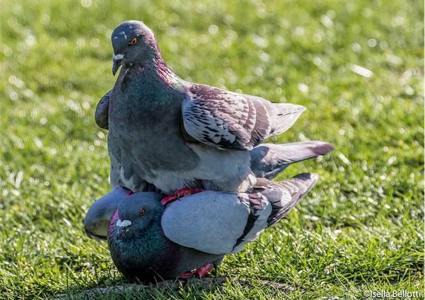 E\' primavera anche per i piccioni!!!