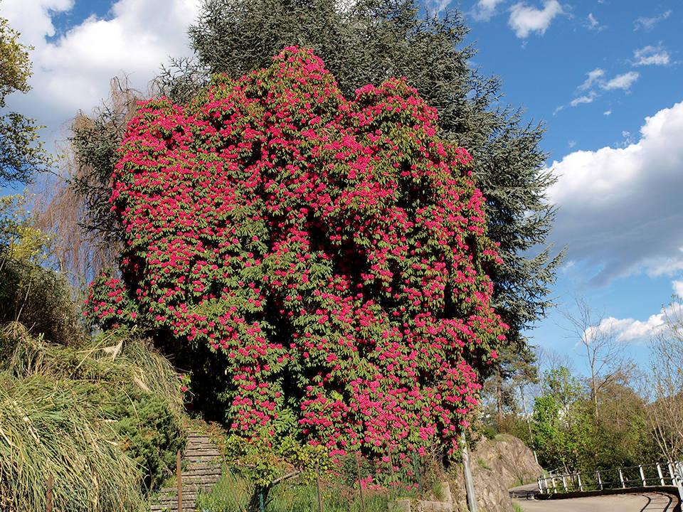 Rododendro in fiore
