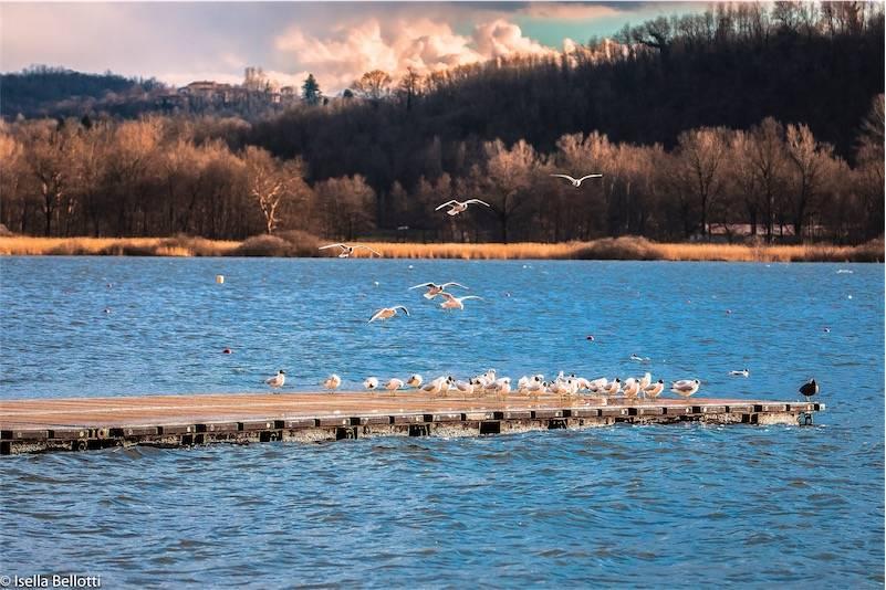 Gabbiani Lago varese