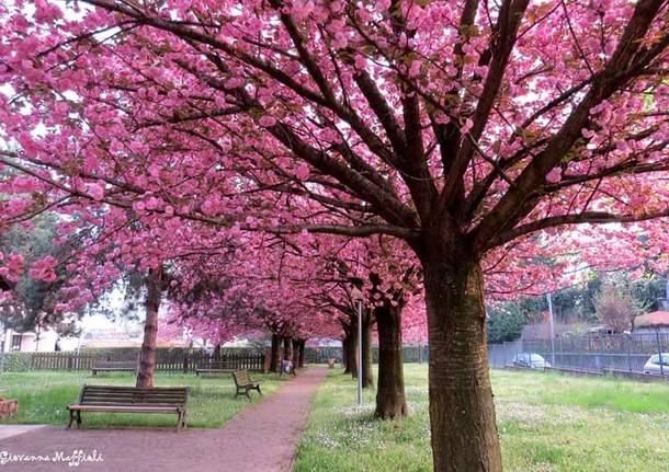 ciliegio giapponese somma lombardo giovanna maffioli