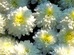 crisantemi necrologie fiori