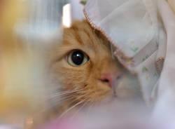 Gatti in mostra a Carnago