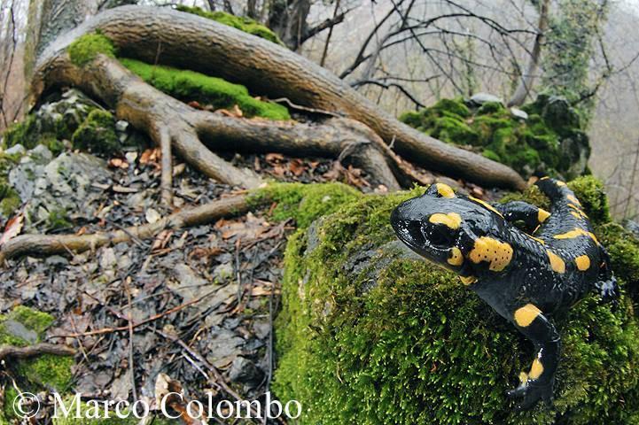 Il sorriso della salamandra - foto di Marco Colombo