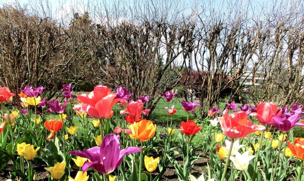 La settimana dei tulipani a Villa Taranto - Verbania