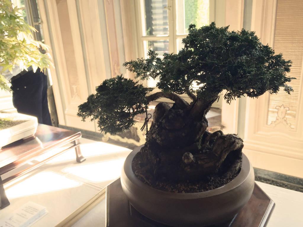 mostra di bonsai al Salone Estense