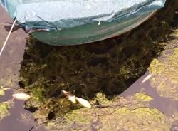 pesci morti al porticciolo di cazzago brabbia aprile 2016