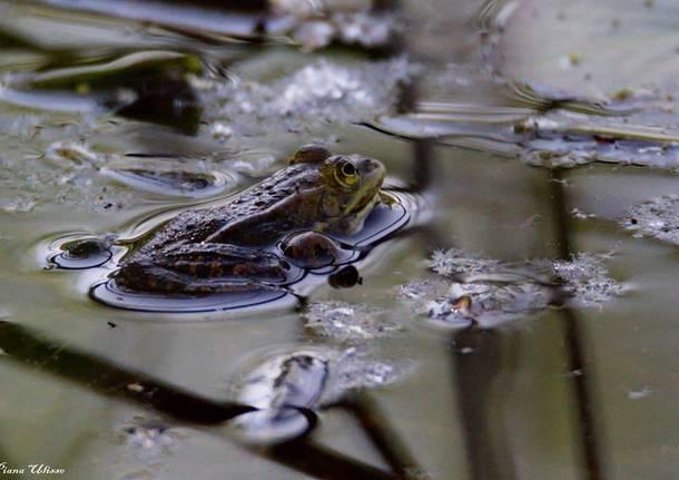 Questa rana aspetta un principe - foto di Ulisse Piana