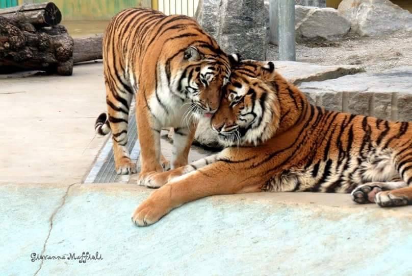 Tigri all'Oasi di Cassano Magnago