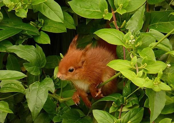 Cip&Ciop: due scoiattoli a Barasso