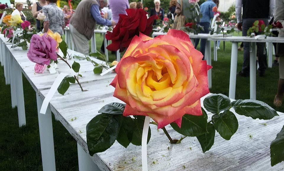 Festa delle Rose: i fiori in concorso