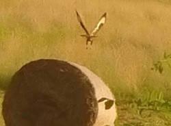 Falco a Casale Litta