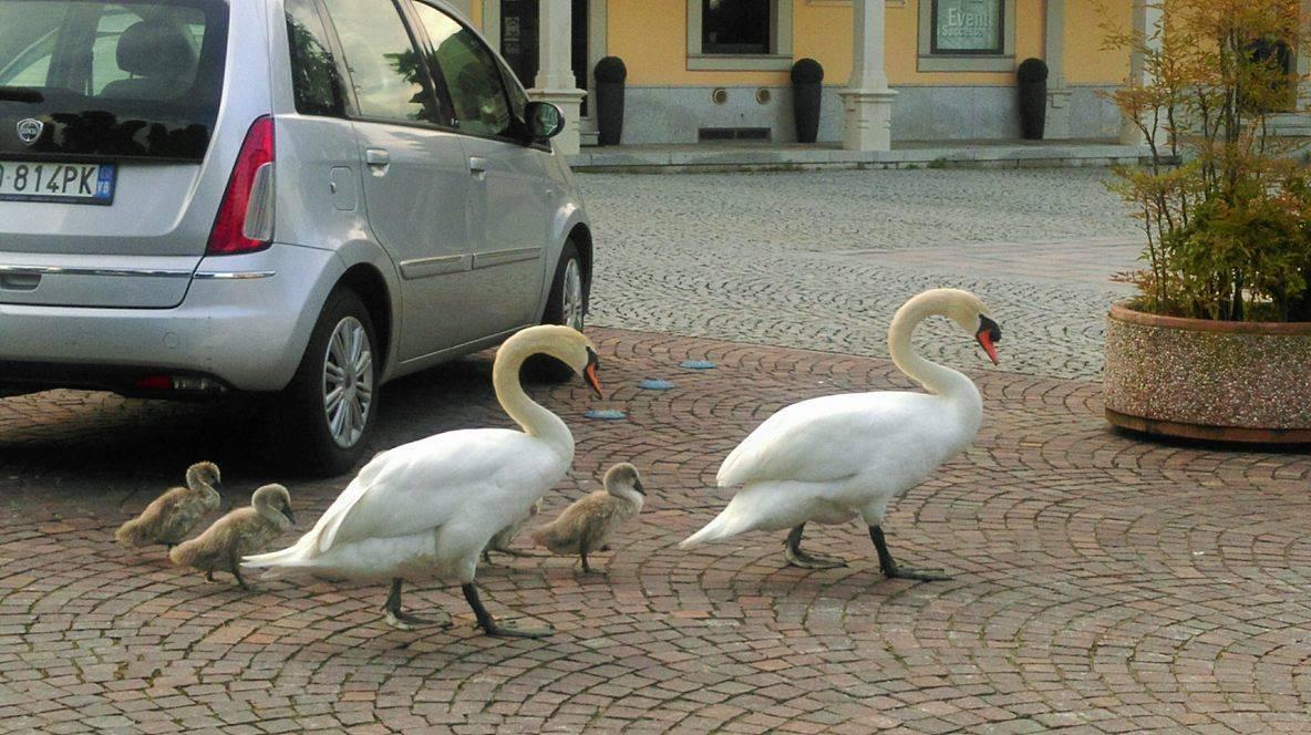 Cigni in piazza - foto di Cristina