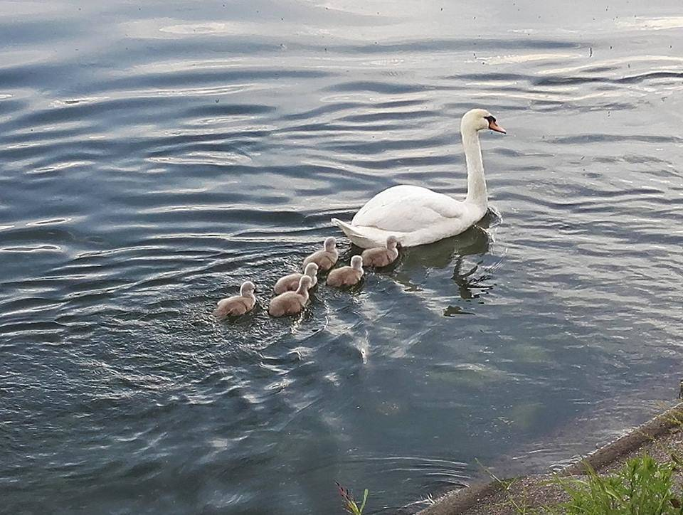 La famiglia di cigni a passeggio