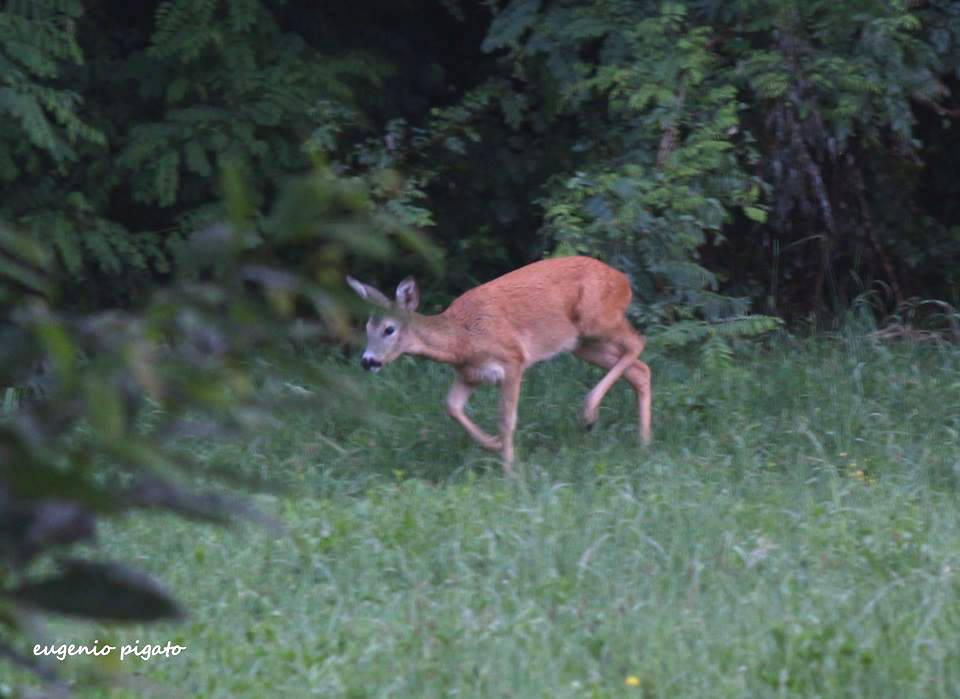 Bambi - foto di Eugenio Pigato