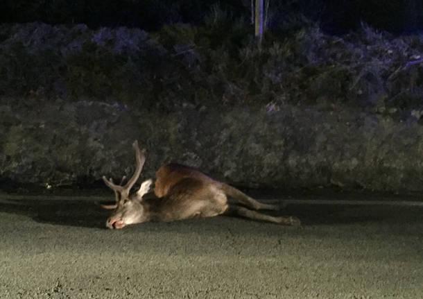 Cervo travolto da un'auto a Laveno il 16 luglio