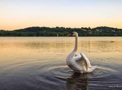 Cigno sul lago di Varese