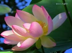 Meravigliosi i fiori di loto dell'isolino Virginia sul lago di Varese