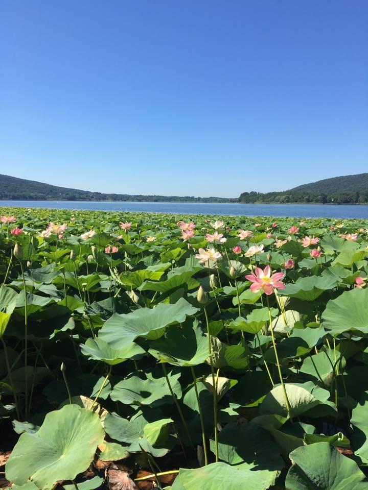 Ninfee sul lago di Comabbio