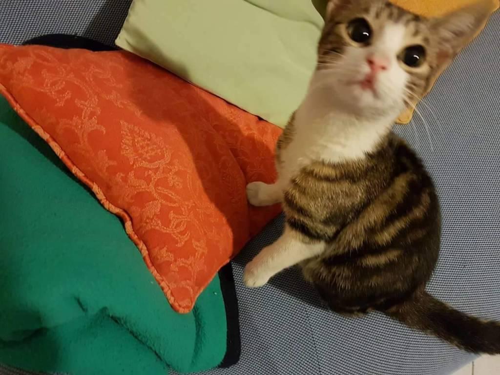 gattino perso