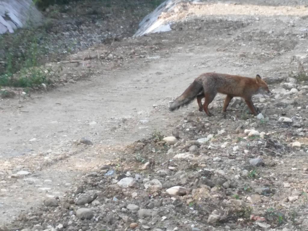 La volpe di via Crispi