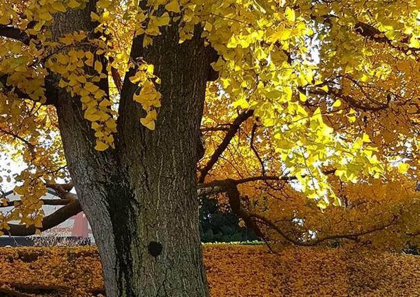 Bisuschio, l'albero d'oro - foto di Clara Comolli