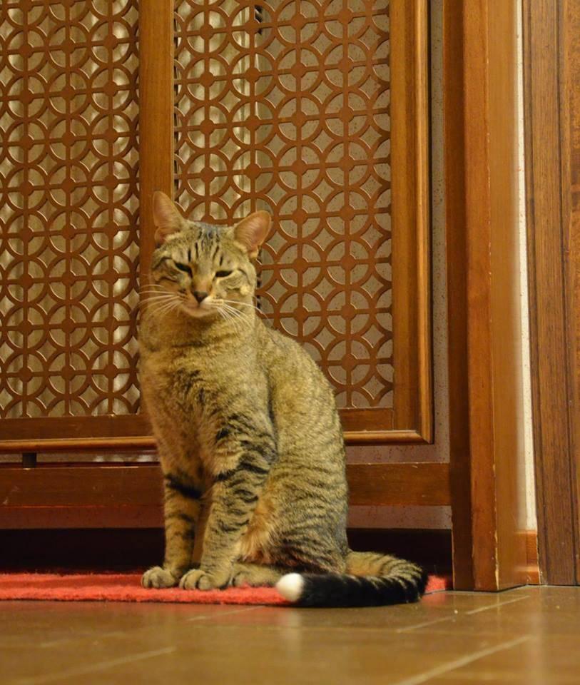 Smarrito gatto tigrato in zona Laveno-Mombello