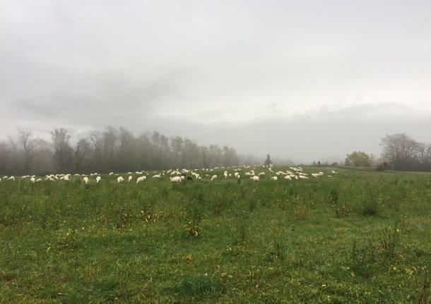 Pecore nella nebbia a Casciago