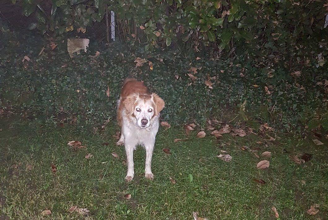Trovato cane a Casciago