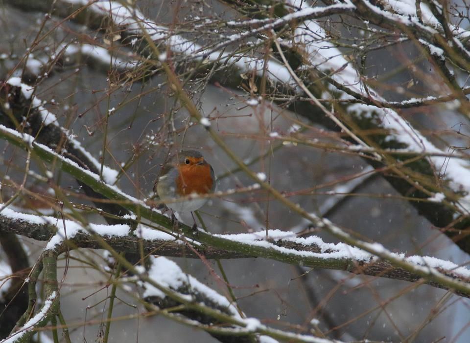 Il buongiorno nevoso del Pettirosso