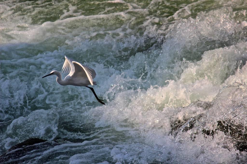 Il volo della garzetta sul fiume Tresa Germignaga